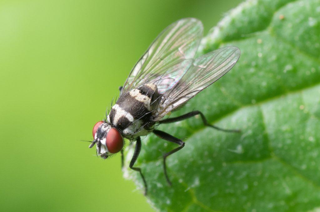 Ingrédients naturels contre les mouches